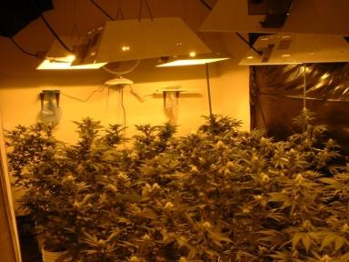 la germination des graines de marijuana les graines de cannabis
